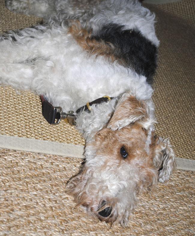 Bertie the plum and ashby dog designer home shop