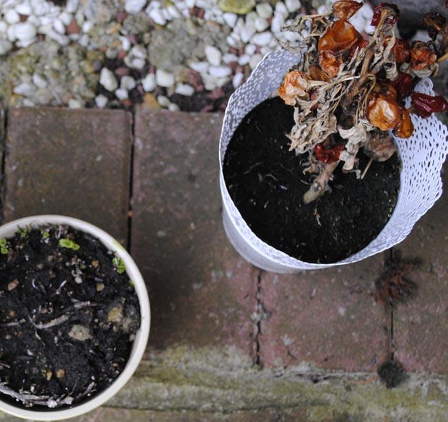 dead plants in the garden