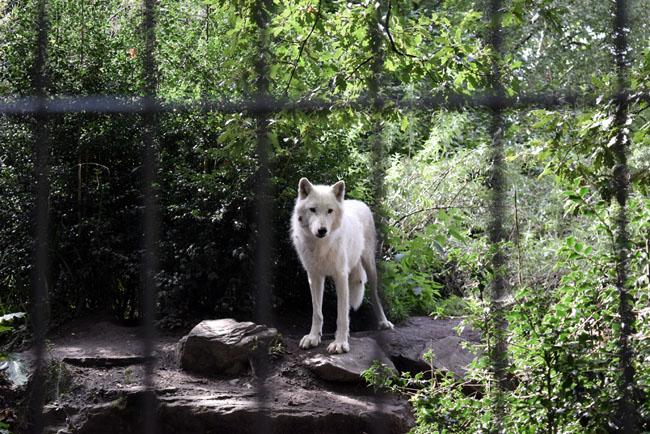 amsterdam-city-white-wolf