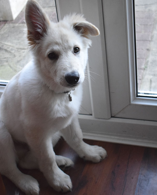 white german shepherd puppy swiss