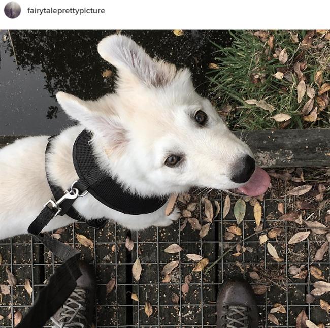 white-german-shepherd-puppy-dog-casper-ghost